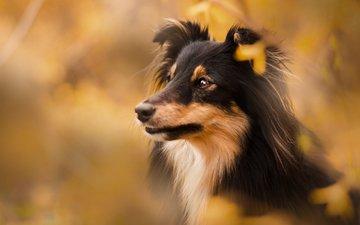 собака, размытость, щенок, шелти, cобака