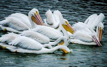 вода, птицы, пеликан, пеликаны, птаха