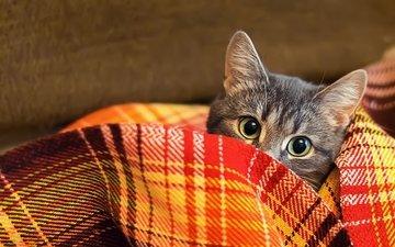 кот, шерсть, взгляд, одеяло, плед