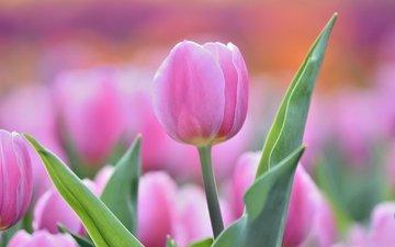 цветы, бутон, розовый, нежность, тюльпан