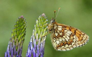 цветы, насекомое, бабочка, крылья, растение