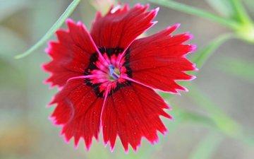 природа, цветок, лепестки, китайская, гвоздика