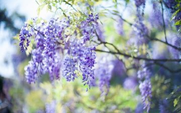 свет, цветы, природа, дерево, ветви, весна, соцветия, боке, сиреневые, глициния