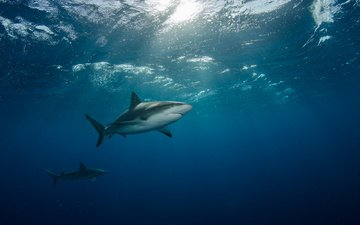 море, под водой, лучи света, две, акулы, плывут