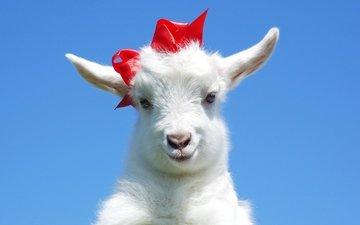 красный, ушки, коза, бант, козел, козленок, козочка, козлик
