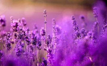 цветы, поле, лаванда, луг, фиолетовые, боке, сиреневые