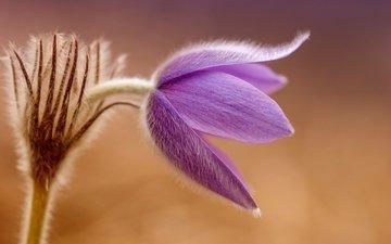 макро, цветок, весна, первоцвет, сон-трава, прострел, pulsatílla grandis