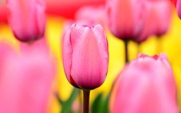 цветы, природа, поле, лепестки, сад, тюльпаны, розовые