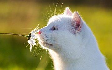 фон, цветок, кошка, ромашка, белая