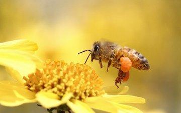 макро, насекомое, цветок, пчела, игруха, м