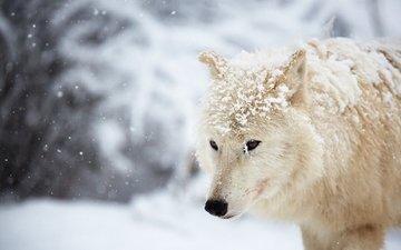 снег, зима, белый, волк, арктический волк