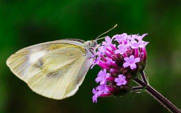 макро, насекомое, цветок, бабочка, крылья