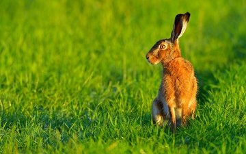 трава, природа, ушки, животное, заяц