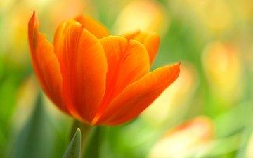 природа, макро, цветок, лепестки, оранжевый, тюльпан