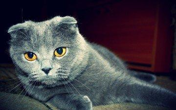 глаза, кот, кошка, шотландская, вислоухая