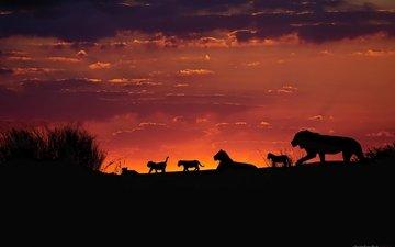небо, вечер, закат, африка, силуэты, львы, львята, прайд, калахари, семейная стая львов
