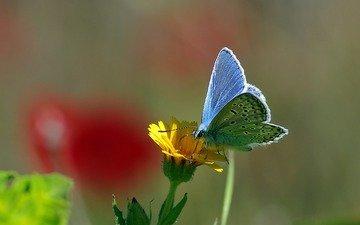 желтый, макро, насекомое, цветок, бабочка, нектар, ziva & amir