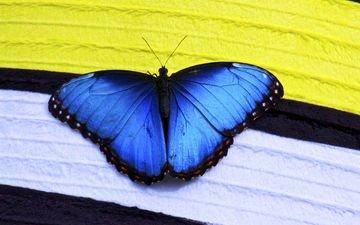 макро, насекомое, бабочка, крылья, синие, морфо