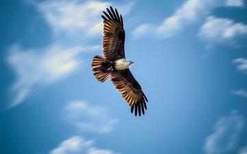небо, полет, крылья, орел, птица, охота