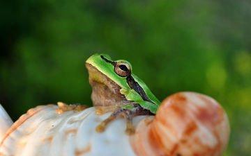 глаза, лягушка, лягуха, амфибия, земноводные