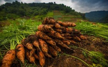 земля, макро, овощи, морковь, оранжевая, ботва