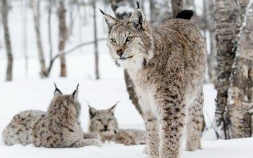 снег, лес, зима, кошки, рыси