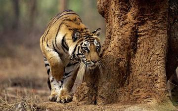 тигр, морда, усы, лапы, хищник, большая кошка, охота