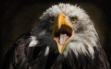 хищник, птица, клюв, белоголовый орлан, ellen-ow