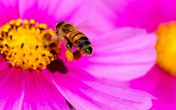 макро, насекомое, цветок, лепестки, пчела, яркий, космея, pink yellow bee, danny perez photography