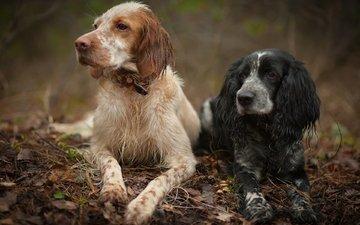 лес, охота, друзья, собаки, спаниель, английский сеттер