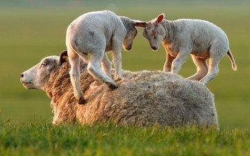 трава, игра, овцы, бараны, ягнята