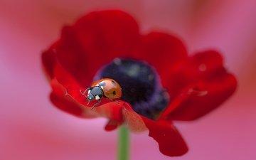 macro, insect, flower, ladybug, mac