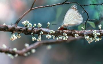 ветка, дерево, цветение, макро, насекомое, бабочка, весна