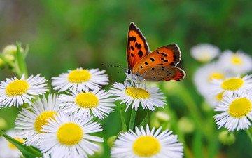 цветы, макро, бабочка, крылья, насекомые