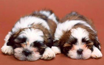 спят, щенки, собаки, рядом, милые, ши-тцу