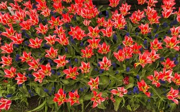 лепестки, сад, весна, тюльпаны, клумба