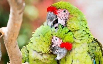 природа, птицы, попугаи, птаха