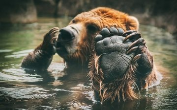 медведь, купание, лапа, бурый