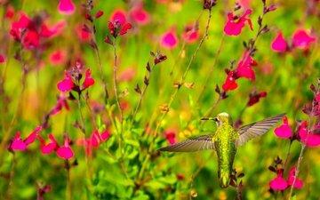 цветы, крылья, птица, клюв, растение, колибри