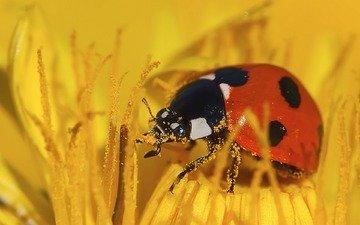 желтый, макро, насекомое, цветок, божья коровка, пыльца