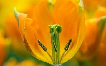 желтый, макро, цветок, весна, тюльпан