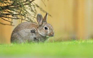 трава, зелень, весна, малыш, заяц, зайчонок