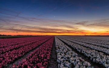цветы, вечер, закат, поле, городок, нидерланды, провинция, callantsoog, северная голландия