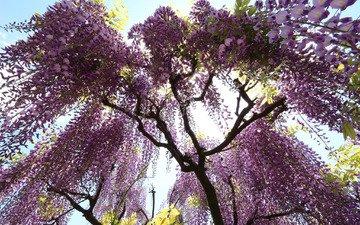 цветы, дерево, цветение, глициния, лиловые, вистерия