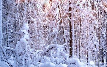 свет, деревья, солнце, снег, лес, зима, сосны, елки, ели, вс, сосна, дерево