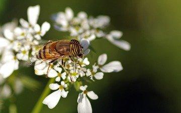 цветы, макро, насекомое, белые, пчела, муха, ziva & amir, трутень