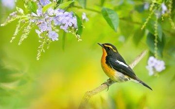 цветы, ветка, дерево, птица, синие, мухоловка, птаха