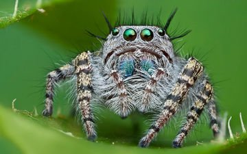 глаза, макро, насекомое, паук, лапки, паук-скакун