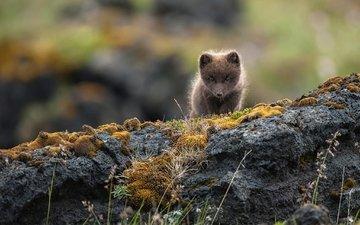скалы, природа, камни, малыш, песец, полярная лисица, alopex lagopus