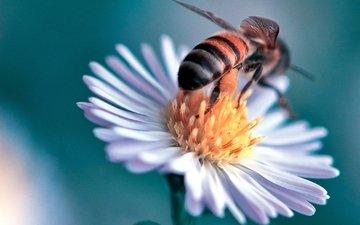 макро, насекомое, цветок, пчела, маргаритка, danny perez photography